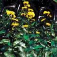 Inula Essential Oil, Organic