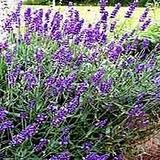 Lavender Essential Oil, Organic, France