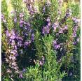 Rosemary Essential Oil, Italy