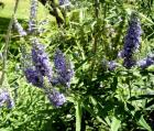 Vitex Essential Oil