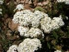 Yarrow Essential Oil, Blue