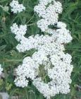 Yarrow Essential Oil, Green