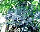 Eucalyptus Essential Oil, Australia