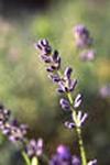 Lavender Essential Oil, Bulgarian Wild