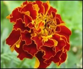 Marigold Flower CO2 Total